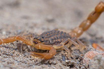 São Paulo alerta para o crescente número de escorpiões na capital