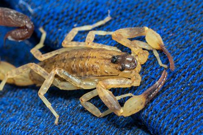 Encontrei um escorpião filhote, pode ter mais?