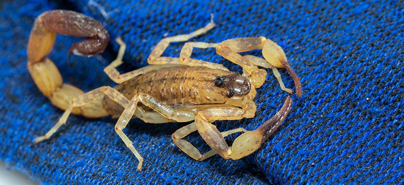 infestação de escorpiões em sp