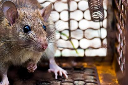 Por que é importante evitar o contato com ratos urbanos?