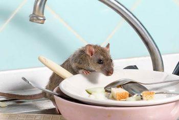 Você sabe onde os ratos ficam durante o dia?