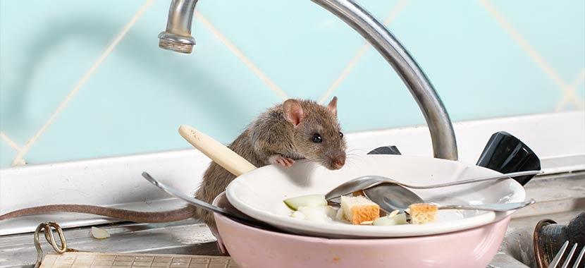 Aonde os ratos se escondem durante o dia?