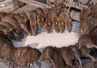 Peste negra e o contágio através dos ratos, piolhos e pulgas