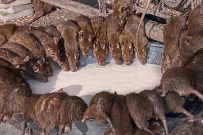 Série da Netflix fala sobre a Peste Negra e a contaminação através dos ratos e pulgas