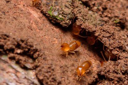 Quais locais o cupim pode formar colônias e causar infestações?