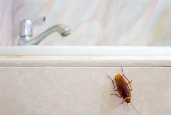 Baratas só aparecem em locais com falta de higiene. Será?!