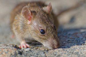 infestação de ratos em condomínios