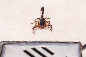 dedetizar escorpioes
