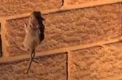 Austrália vive uma das maiores infestações de ratos da sua história