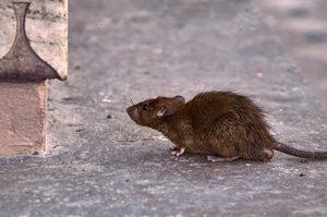 Desratização - a maneira mais eficiente de acabar com ratos