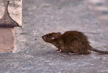 Como acabar com a infestação de ratos?