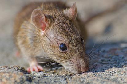 Quanto tempo o rato morre depois de comer veneno?